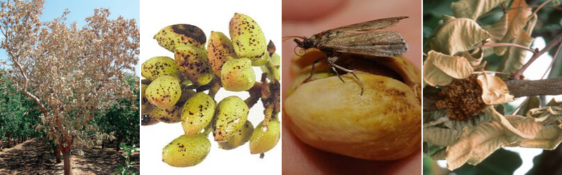 Most common pistachio disease and pests